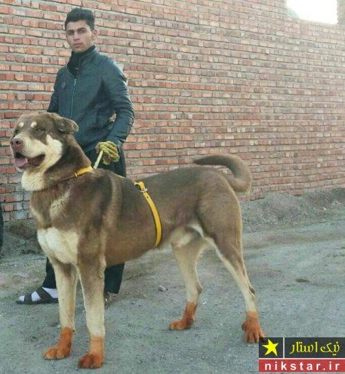 سگ جنگی سرابی