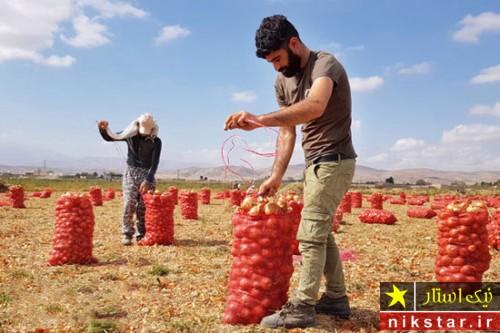 برداشت پیاز توسط کارگران در خراسان شمالی