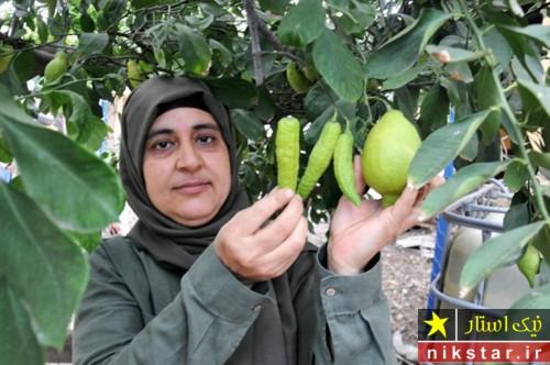 میوه های فلفل درخت لیمو
