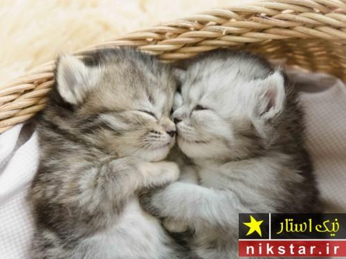 زمان جفت گيري گربه و مدت زمان بارداری گربه و علائم بارداری گربه