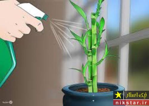 شرایط نگهداری گل بامبو