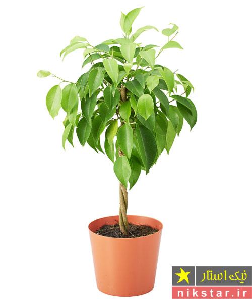 درخت بنجامین