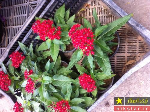 شرایط نگهداری از گل پنتاس