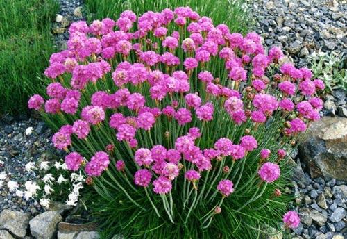 نگهداری از گل آرمریا