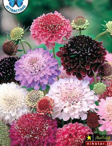 گل اسکابیوزا ، گل درخشنده الوان