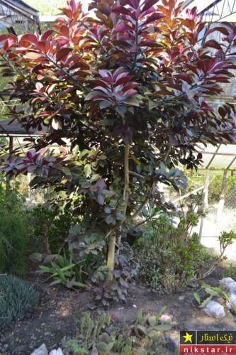 گل افوربیا فردوس