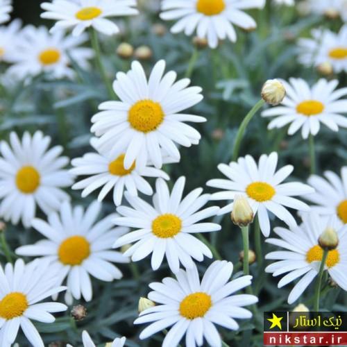 عکس گل مارگریت