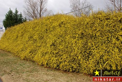 شرایط نگهداری از گل یاسمن زمستانی