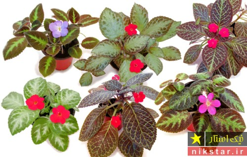 نگهداری از گل اپیشیا