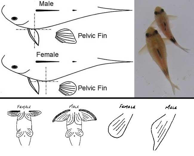 تشخیص جنسیت ماهی کف خوار کوریدوراس