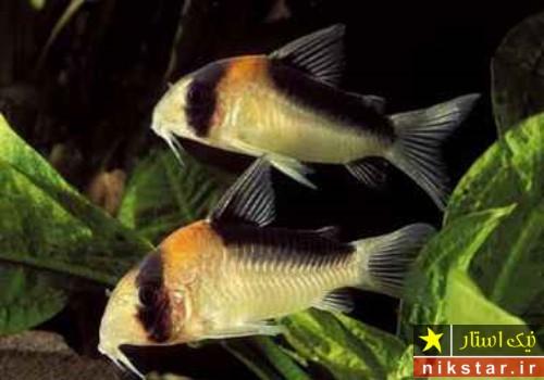 ماهی کف خوار ماهی کوریدوراس