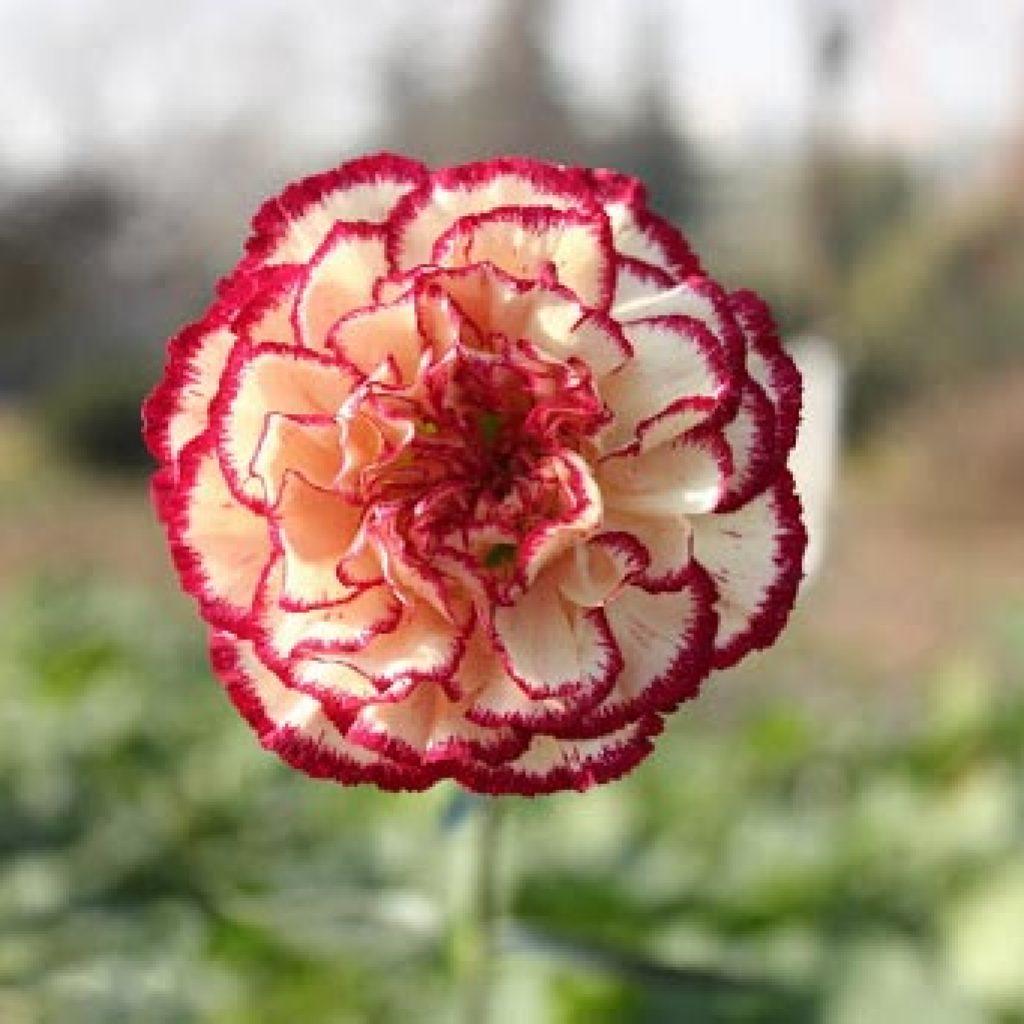 روش کاشت میخک در گلدان