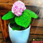 شرایط نگهداری از گل ادریسی یا گل هورتانسیا در منزل + روش تکثیر و پرورش