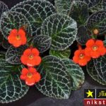 شرایط نگهداری گل اپیشیا یا گل بنفشه آتشین در منزل + روش تکثیر و پرورش