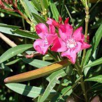 اصول و شرایط نگهداری از گل خرزهره یا گل ژاله + روش تکثیر و پرورش آن