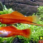 نگهداری از ماهی سوارتل یا دم شمشیری در آکواریوم + روش تکثیر و پرورش آن