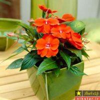 شرایط نگهداری از گل حنا یا گل امپیشن و یا سولماز + روش تکثیر و پرورش