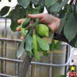 عکس های جالب از میوه های فلفل درخت لیمو در ترکیه