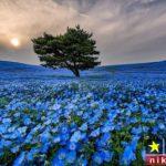 عکس های زیبا از بوته های گل پارک هیتاچی ژاپن