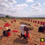 عکس های دیدنی از برداشت پیاز توسط کارگران در خراسان شمالی