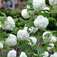 شرایط نگهداری از درخت گل بداغ و روش تکثیر گل بداغ و پرورش آن