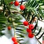 میوه های درخت ۵۰۰ ساله سرخس به رنگ قرمز و زرد + تصاویر