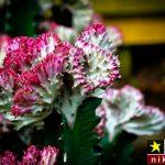 اصول و شرایط نگهداری از گل افوربیا لاکتی در منزل + روش تکثیر و پرورش آن