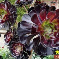 آموزش نگهداری از گل آئونیوم خورشیدی یا بشقابی در منزل – ساکولنت ها