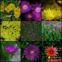 شرایط نگهداری گل دم عقربی یا کارپوبروتوس به همراه روش تکثیر و پرورش آن