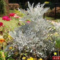 اصول و شرایط نگهداری از گیاه برگ نقره ای + روش تکثیر و پرورش آن
