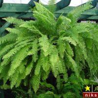 شرایط نگهداری گل سرخس در خانه و روش تکثیر و پرورش گیاه سرخس