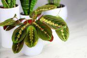اصول و شرایط نگهداری گل مارانتا لوکونورا در خانه + روش تکثیر این گیاه