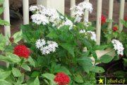 شرایط نگهداری از گل پنج پر یا پنتاس به همراه روش تکثیر