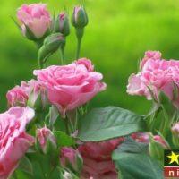 پرورش گل محمدی در گلخانه و آپارتمان و شرایط نگهداری از آن