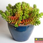 شرایط نگهداری گل سدوم در خانه یا آپارتمان + روش تکثیر و پروش آن