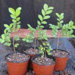 درخت نارون چیست؟ اصول نگهداری و پرورش درخت نارون در خانه یا آپارتمان