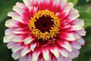 شرایط نگهداری از گل آهار در منزل یا آپارتمان + روش تکثیر و پرورش آن