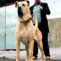 50 عکس از جنگی ترین سگهای سرابی اصیل ایرانی