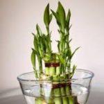 شرایط نگهداری گل بامبو در منزل یا آپارتمان + روش تکثیر و پرورش آن