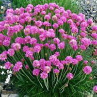 شرایط نگهداری گل چمن آرمریا به همراه روش تکثیر و پرورش آن