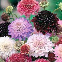 شرایط نگهداری گل اسکابیوزا یا گل درخشنده الوان + روش تکثیر اسکابیوزا