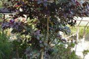 شرایط نگهداری از گل فردوس قرمز یا افوربیا سینادنیوم + روش تکثیر