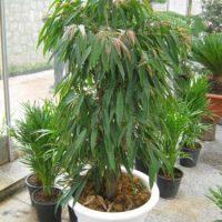 شرایط و اصول نگهداری از گیاه فیکوس آمستل در منزل + نحوه تکثیر و پرورش