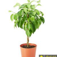 درخت بنجامین | شرایط نگهداری گل بنجامین و روشهای پرورش و تکثیر آن