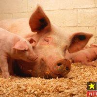 فواید و خواص گوشت خوک و مضرات آن از نظر پزشکی و دین اسلام