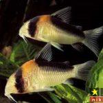 نگهداری از ماهی کف خوار ( کوریدوراس ) و نحوه تکثیر و پرورش آن