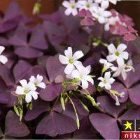 شرایط نگهداری گل اگزالیس، شبدر زینتی یا گل عشق در خانه + روش تکثیر