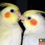 معرفی ۱۵ تا از پرسودترین پرنده های زینتی و غیر زینتی برای پرورش