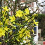 شرایط نگهداری و پرورش گل یاسمن زمستانی + روش تکثیر